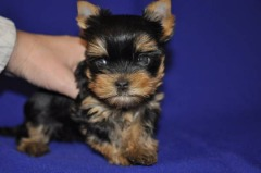 YORKIE  Puppies Text Or Call (650-822-8110)