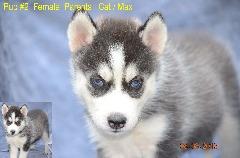 UKC Siberian Husky Pups