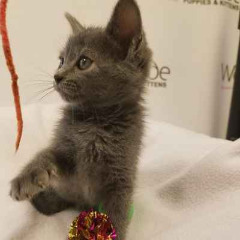 Please Contact Russian Blue Kittens for lovely home only