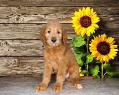 Beautiful Goldendoodle