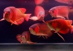 Super Red and Golden Asian Arowana