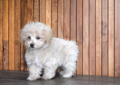 JAPANESE CHIN/POODLE MALE