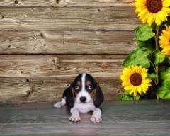 Female Beagle!