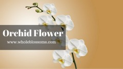 Buy Orchids Flowers Online from Whole Blossoms