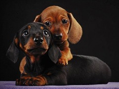 Dachshund Females and Males