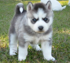 Pomsky Puppies Available For Sale With 50% Discount