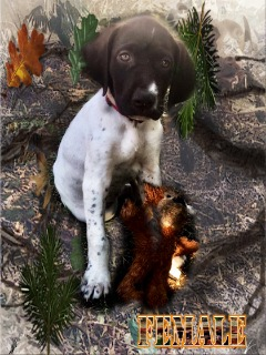 AKC German Pointer Pups