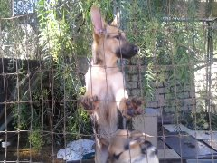 Black & Tan German Shepherds  6 puppies 3 1/2 months old 2 vaccinations  4 d wormings