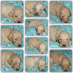 CKC Registered multigen labradoodle puppies