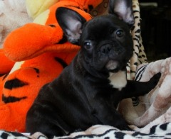 FRENCH BULLDOG 12 WEEKS ready for a good home
