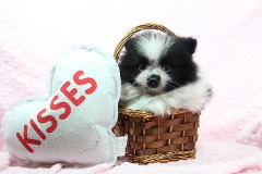 Tiny Teacup & Toy Pomeranian Puppies Available Now