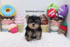 Yorkshire Terrier - Ace - Male