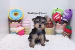 Yorkshire Terrier - King - Male