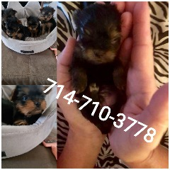 Micro yorkie puppies charting under 4 lb