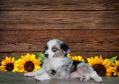 MINIATURE AUSTRALIAN SHEPHERD MALE