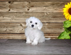 MALTESE/BICHON FRISE Female