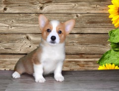 Pembroke Welsh Corgi Male!