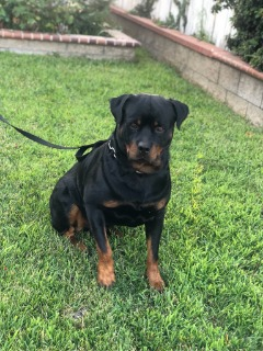 AKC German Rottweiler Puppies