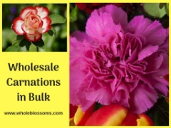 Best Place to Order Wholesale carnation Flowers for Sale