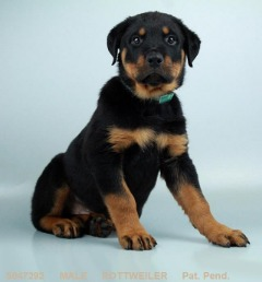 Purebred male Rottweiler (AKC)