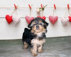 Purebred male Yorkshire Terrier!