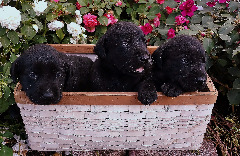 Purebred Black Lab Puppies