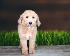 Piper is the prettiest Goldendoodle 2nd Gen!