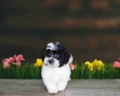 Rare Mini Maltese Miniature and poodle mix (male)