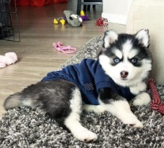 Affectionate Pomsky Puppies