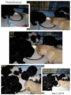 Morkiedoodle puppies!  Maltese/Yorkie/Poodle