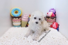Maltipoo - August - Male