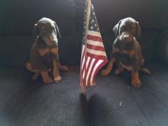Beautiful Doberman Pups