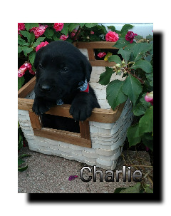 Hi! I,m Charlie, a purebred male black lab