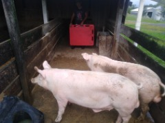 Boar hogs for sale