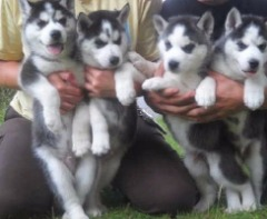 Husky Puppies Text Or Call  (303-990-5621)