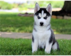Husky Puppies Text Or Call.  (732) 515-5766