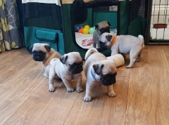 2 Yr Health Guarantee Pug Puppies!!