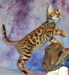 Super calm Bengal kittens available for new pet loving homes