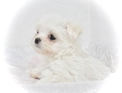??? ??? *FREE* ??? *FREE*Beautiful and Cute M.A.L.T.E.S.E. P.U.P.I.E.S. ??? ??? ???(646) 481-0594