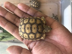 Sulcata baby hatch at 88 degree, female