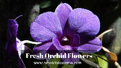 Order Wholesale Orchid Flowers Online for Your Special Day Decoration
