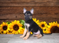 AKC Female German Shepherd
