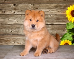 This Chow Chow is so loving and ready to brighten your day! (FEMALE)
