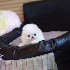 White Eligible Pomeranians @ TEXT (424) 327-4468 #@