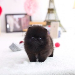 Black Eligible Pomeranians @ TEXT (424) 327-4468 #@