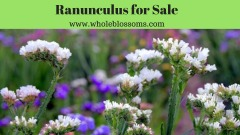 Purchase the best & affordable ranunculus from Whole Blossoms