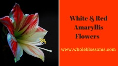 Buy High Quality of Amaryllis Flowers for Sale at the Effective Prices