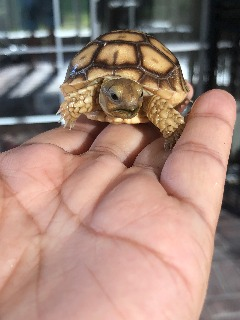 Sulcata babys hatch at 88 degree, female