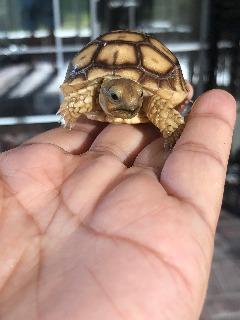 Sulcata babys hatch at 88 degree, female