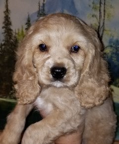 Sweet Family Raised Cockapoo Puppies